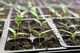 Sprouting seedlings